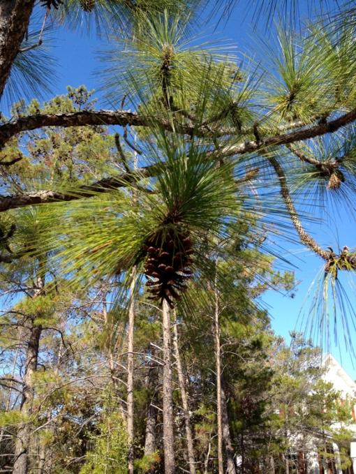 2-28 2013 Pine Cone