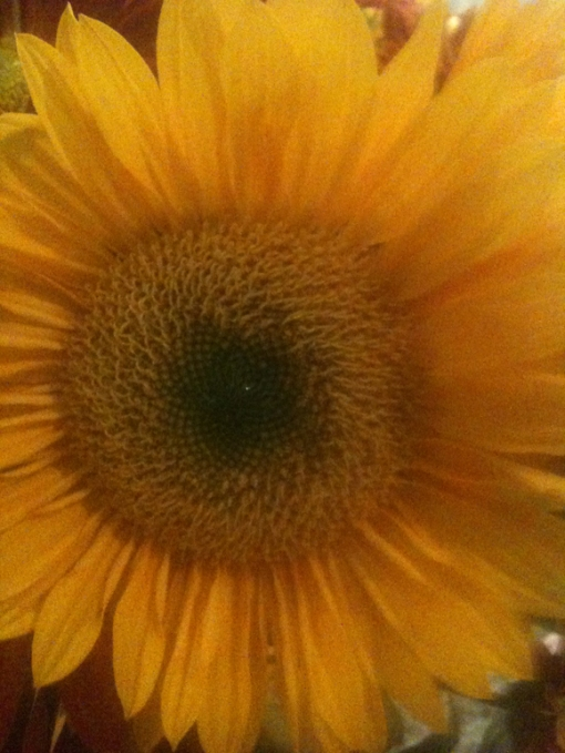 3-10 2013 sunflower