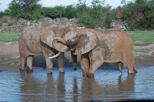 Even elephants crave strokes.