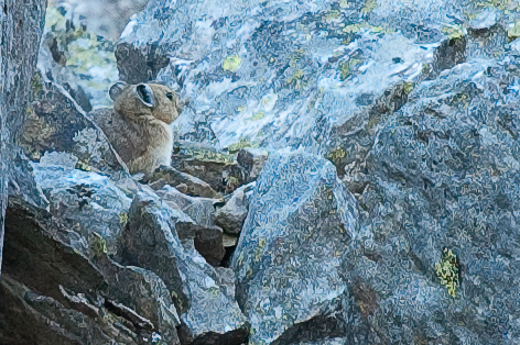 IT workers are highly specialized, like the pika is for his habitat.