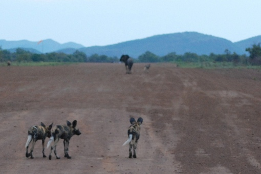 For these wild dogs stalking their prey, the release plan is actually a catch plan.