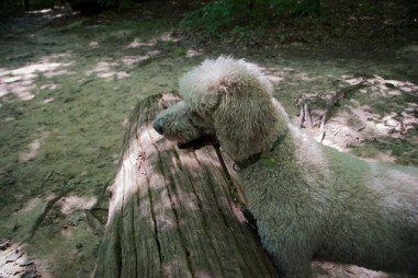Picture of standard poodle
