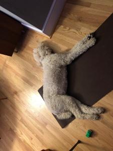 Standard poodle on yoga mat